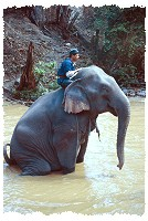 Elefant in Nordthailand