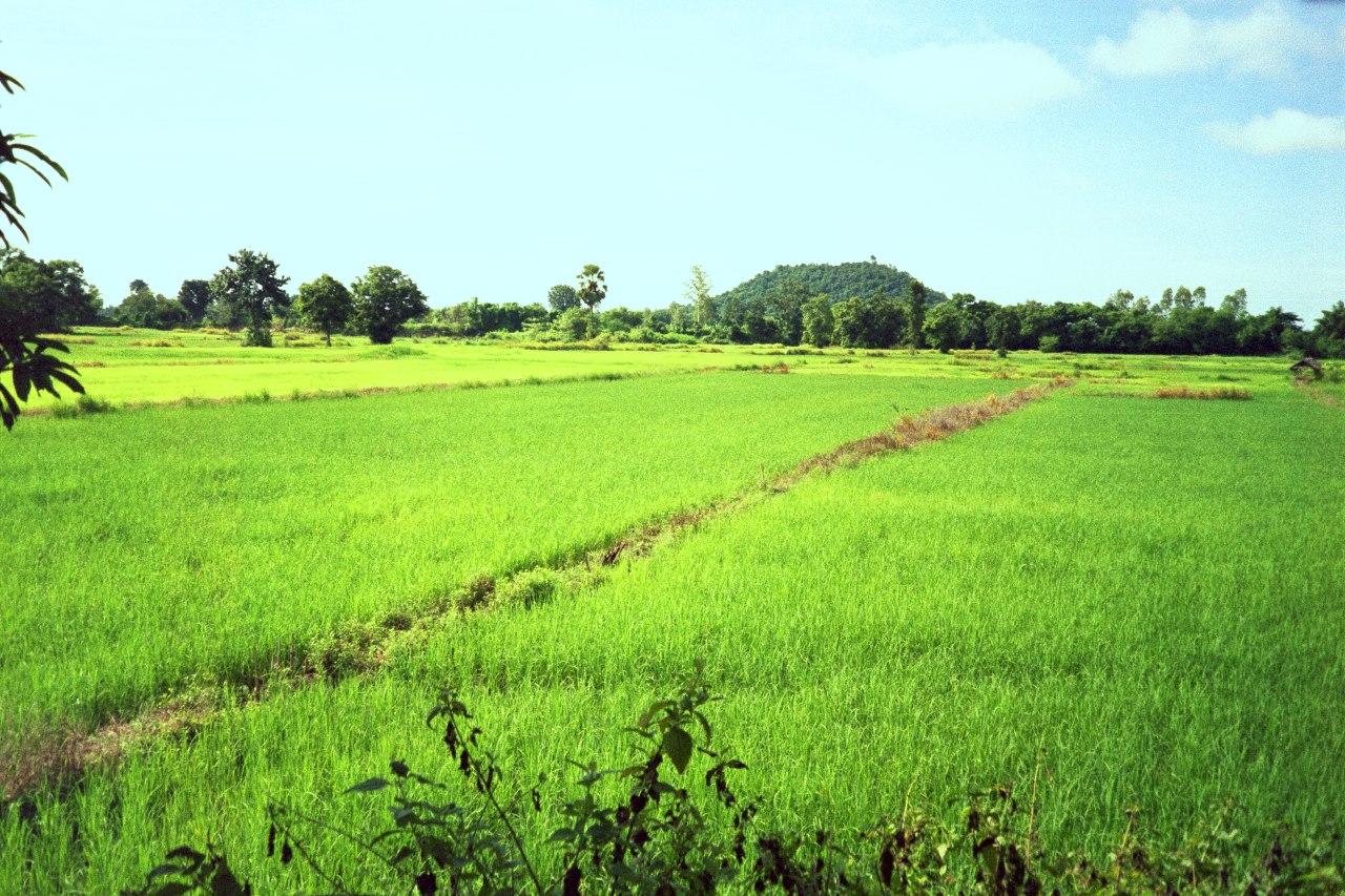 Pichit Thailand  city pictures gallery : Reisfelder in Nong Laman, die Reispflanzen stehen einige cm im Wasser